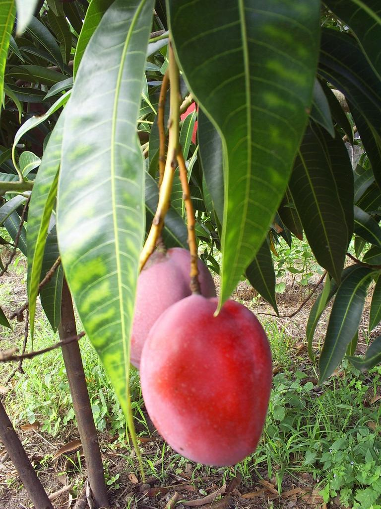 how to tell if a keitt mango is ripe
